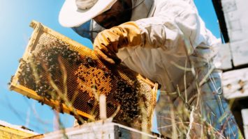 Bee keeper checking honey produce
